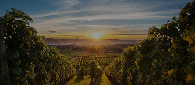 sun setting on a beautiful vineyard